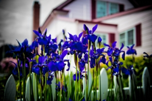 Blue Iris sprouting for spring